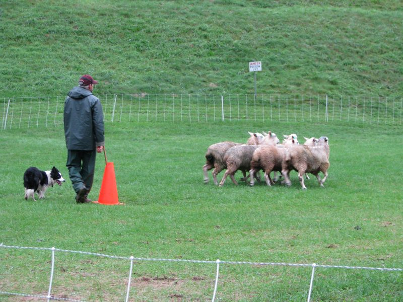Collie trial